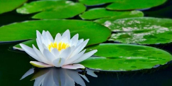 white_lotus